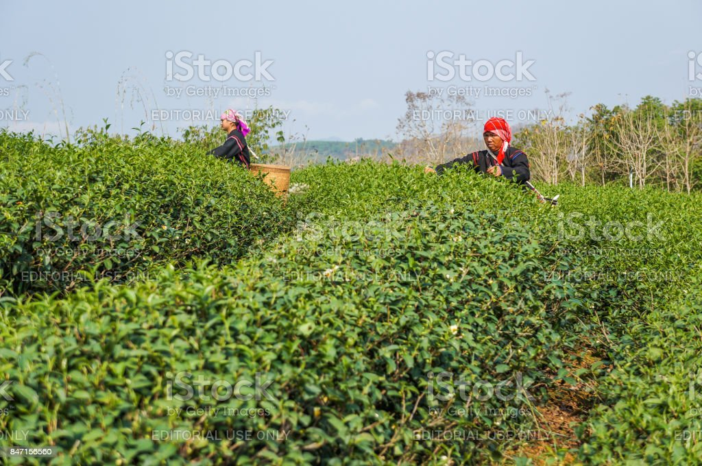 Hill Tribe women harvesting tea in the farm stock photo