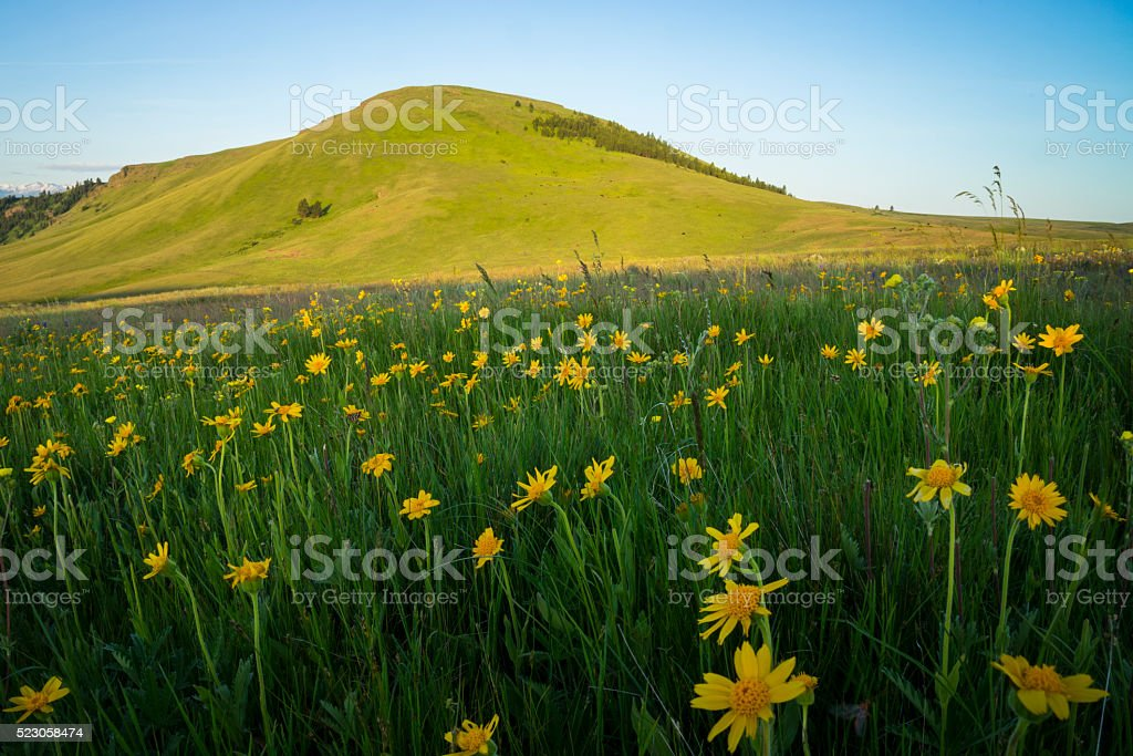 Hills and sunflowers in Oregon stock photo