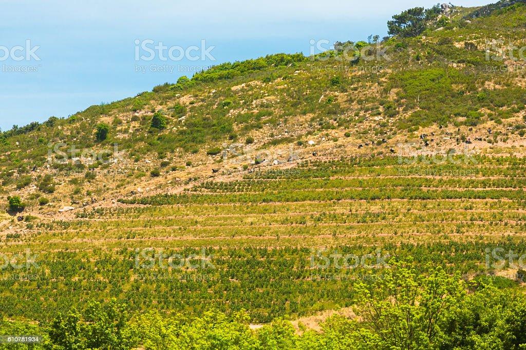Hills around Stellenbosch stock photo