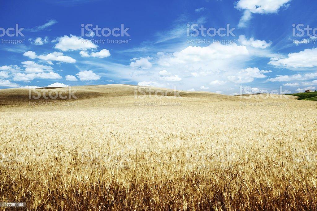 hills of barley in Tuscany, Italy royalty-free stock photo