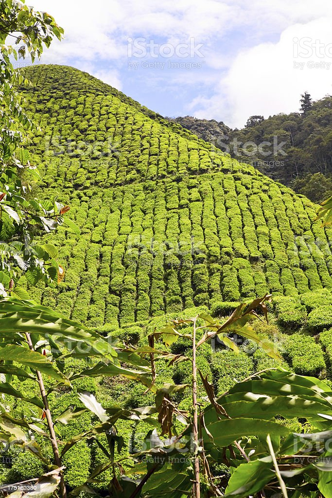 Hills of tea plantation royalty-free stock photo