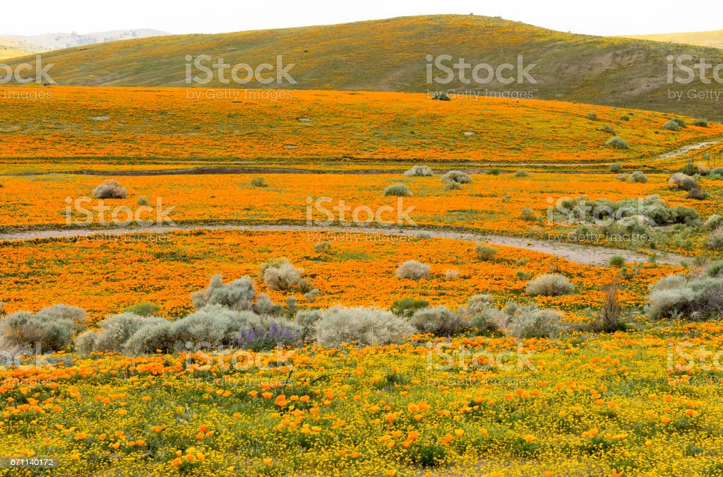 Hills with Poppies stock photo