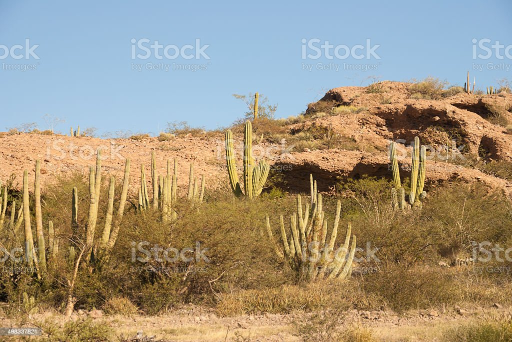 Hillside of Organpipe Cactus royalty-free stock photo