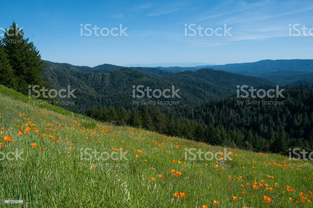 Hillside of poppies overlooking view of  redwood tree covered mountains. stock photo