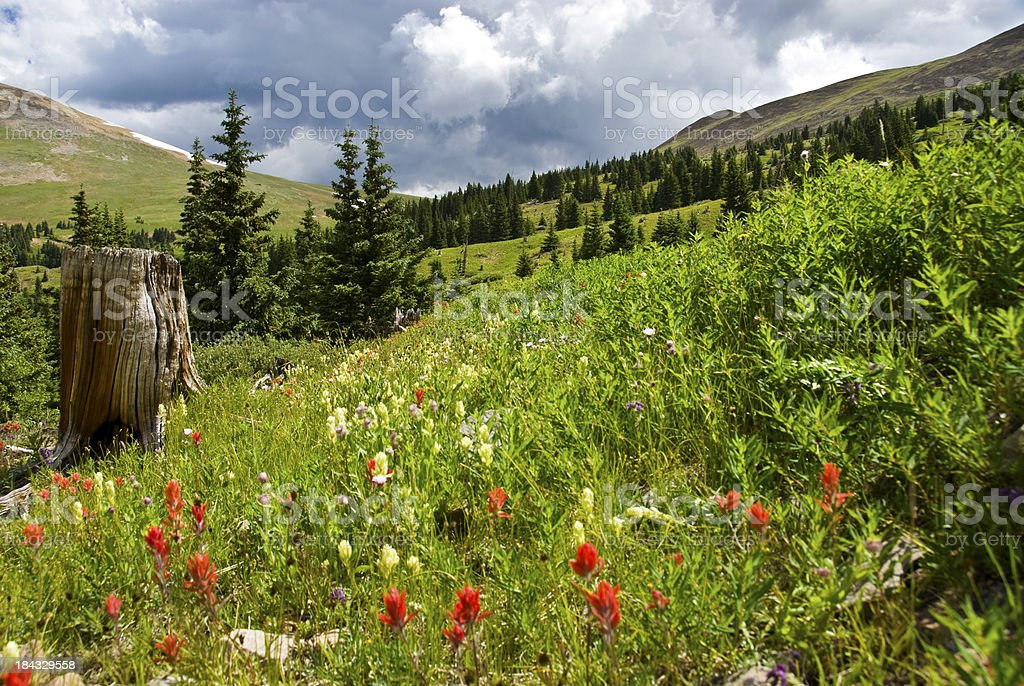 Hillside of Wildflowers in the Colorado Rocky Mountains royalty-free stock photo