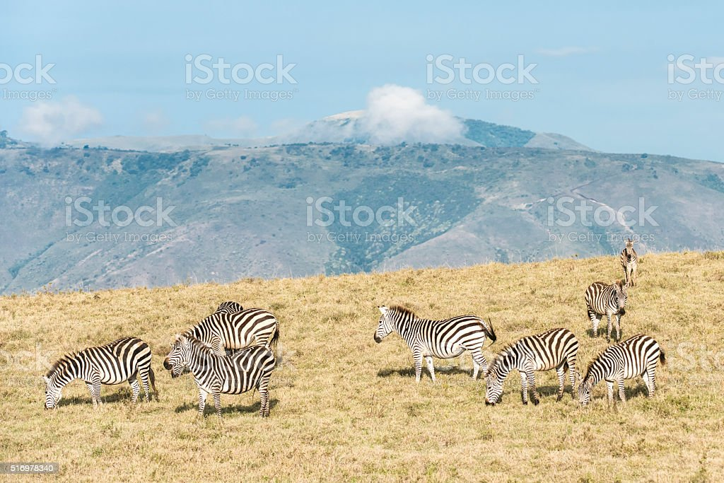 Hillside Zebras stock photo