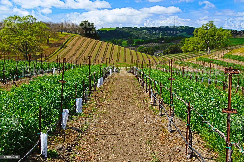 Hilly Paso Robles Vineyard Rows under cloudscape stock photo