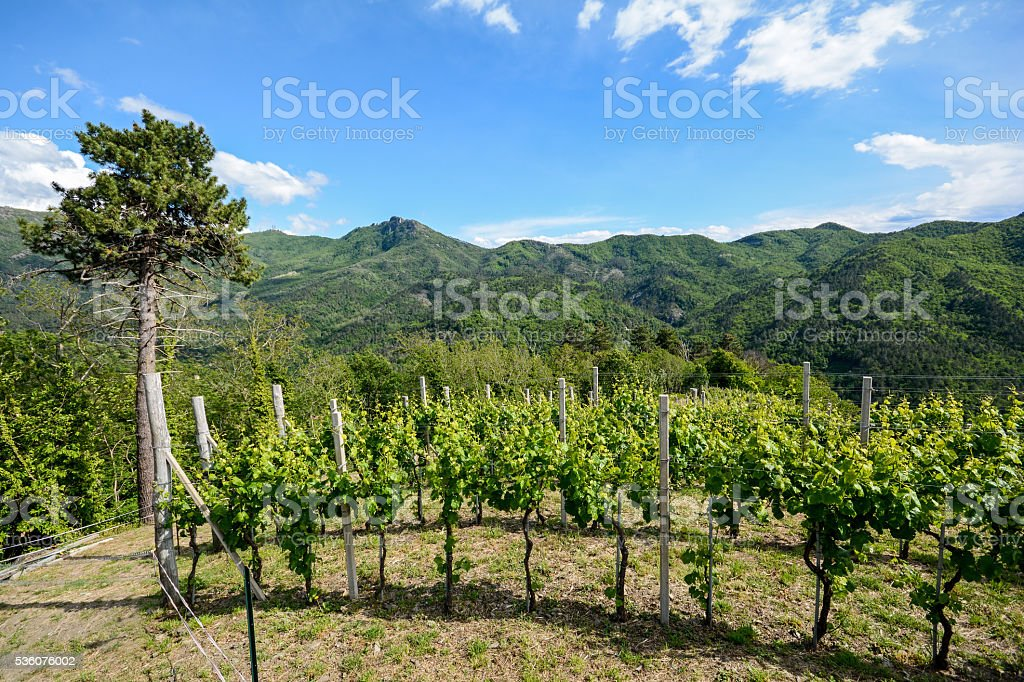 Hilly vineyards in early summer in Italy, Europe stock photo