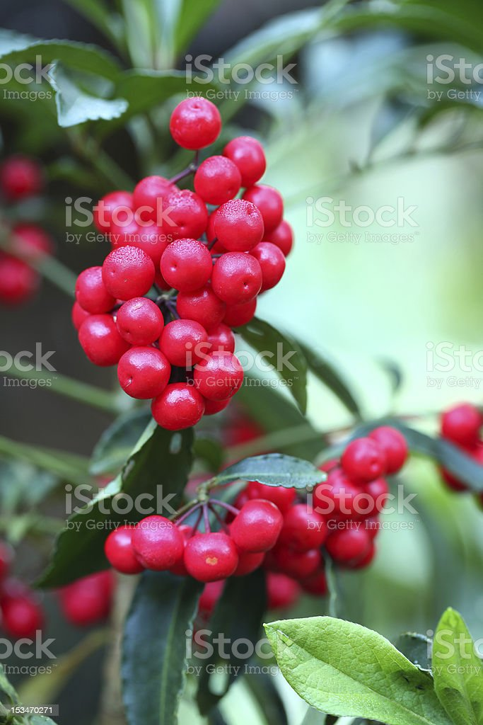 hilo holly,Ardisia Crenata, Coral Berry stock photo