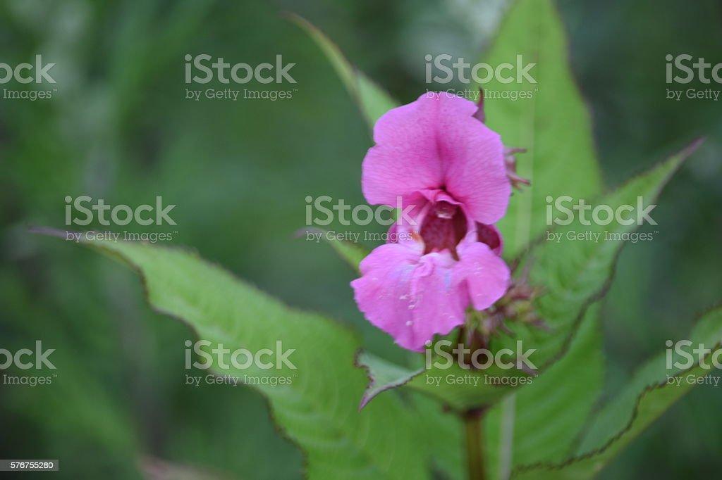 Himalayan Balsam flower, pink. stock photo