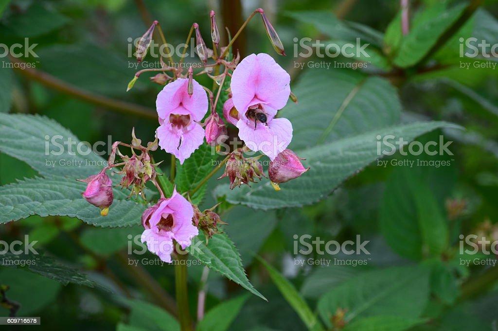 Himalayan Balsam, Impatiens glandulifera flowers stock photo