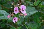 Himalayan Balsam, Impatiens glandulifera flowers