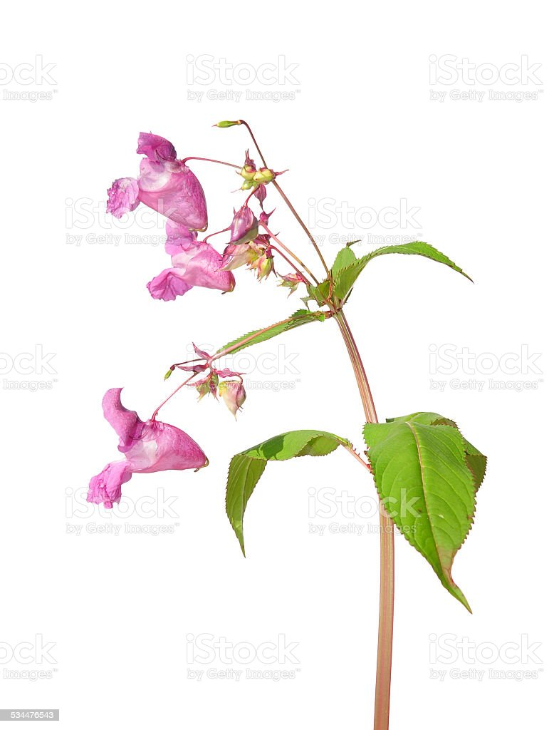 Himalayan balsam (Impatiens glandulifera) stock photo