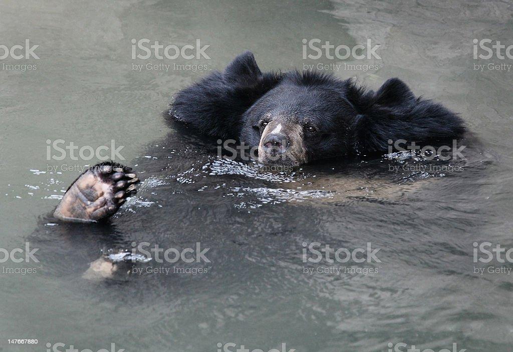 Himalayan black bear in water royalty-free stock photo