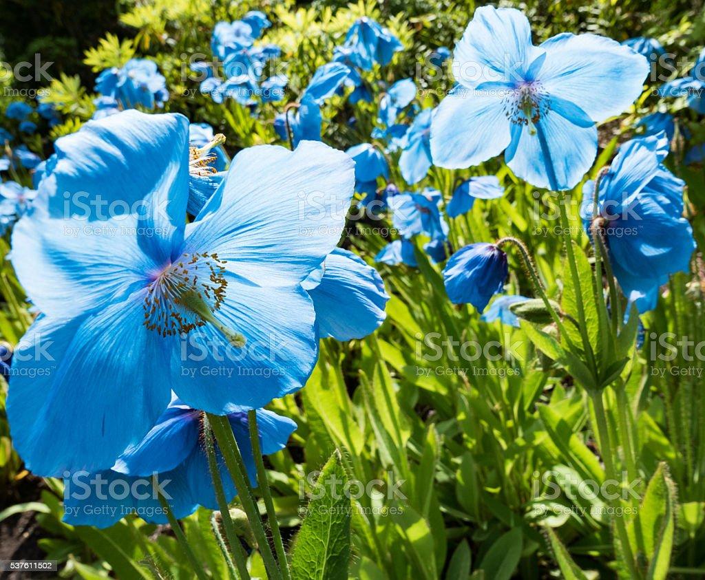 Himalayan Blue Poppies stock photo
