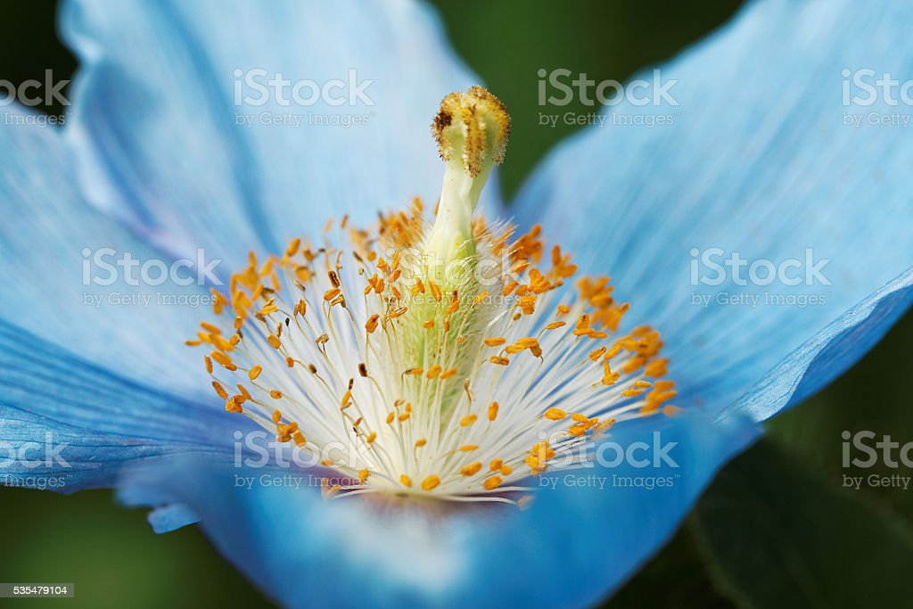 Himalayan blue poppy flower(Meconopsis), in natural garden stock photo