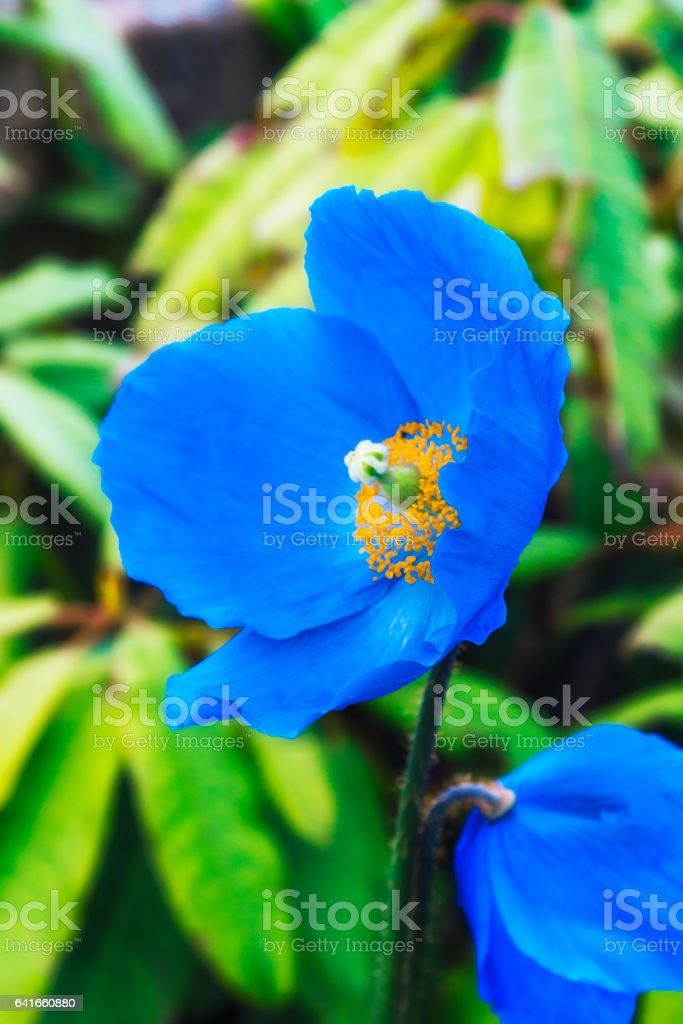 Himalayan blue poppy stock photo