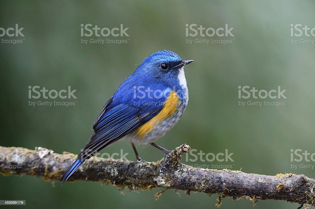 Himalayan Bluetail (male) on branch stock photo
