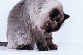 Himalayan cat with hairstyle sits in half-turn isolated studio