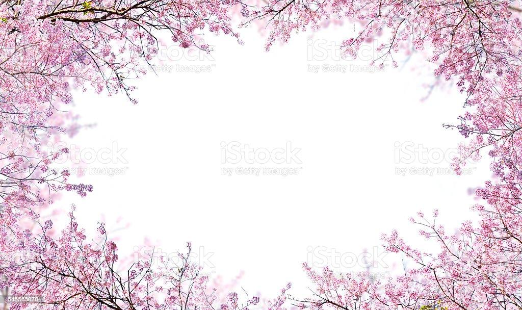Himalayan Cherry on white background stock photo