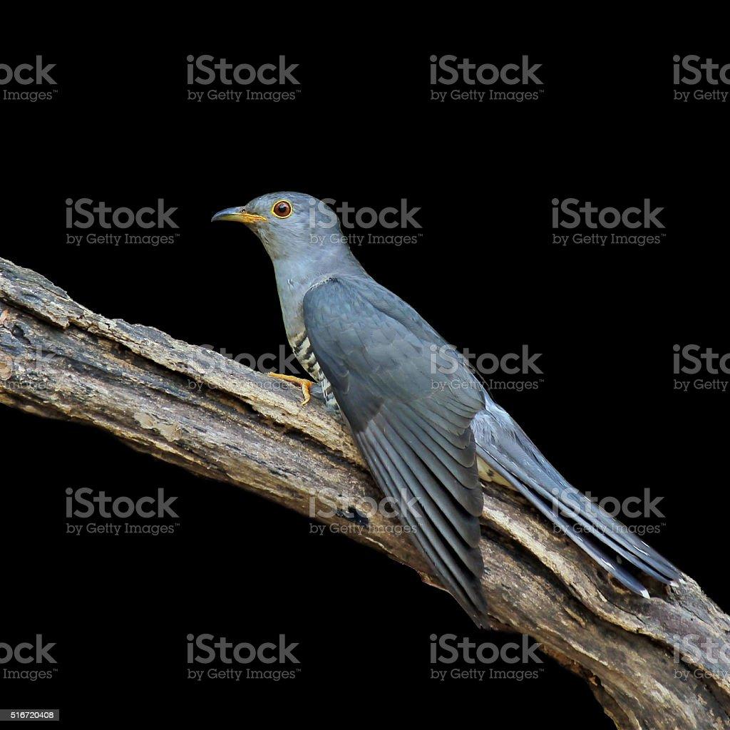 Himalayan Cuckoo on black background, bird of Thailand stock photo