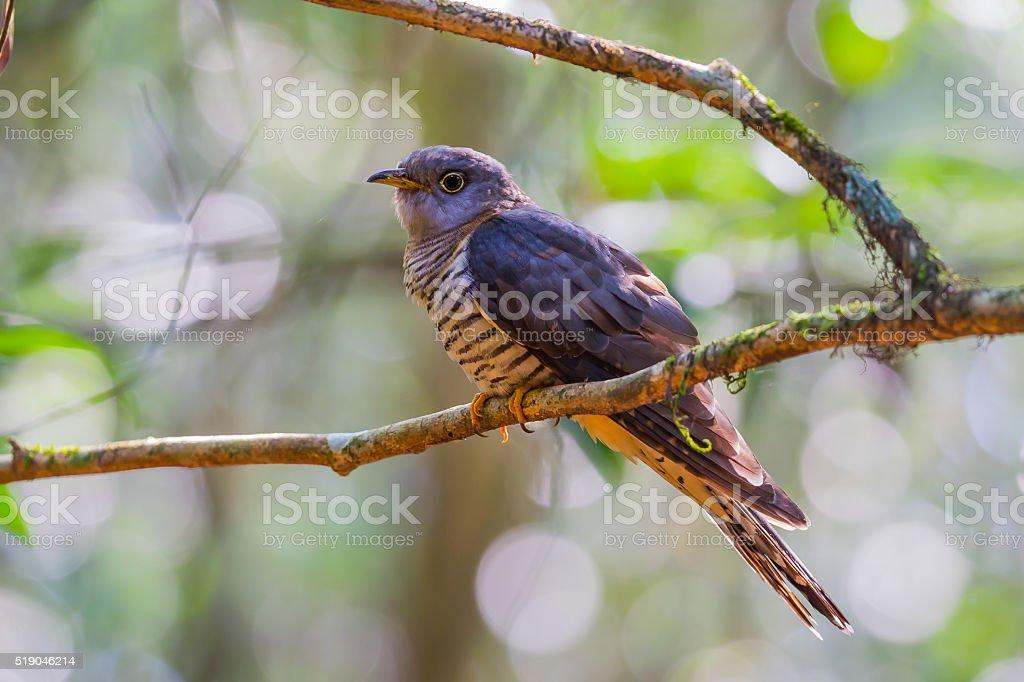 Himalayan Cuckoo(Cuculus saturatus) stock photo