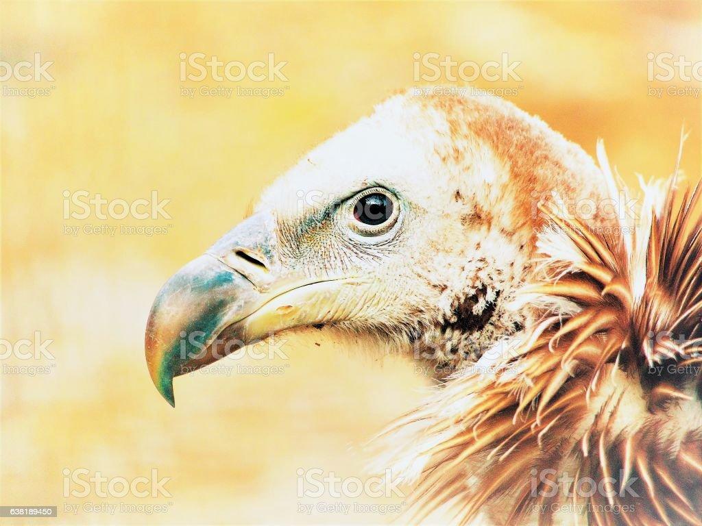 Himalayan griffon vulture, Gyps himalayensis, close-up shot of unique stock photo
