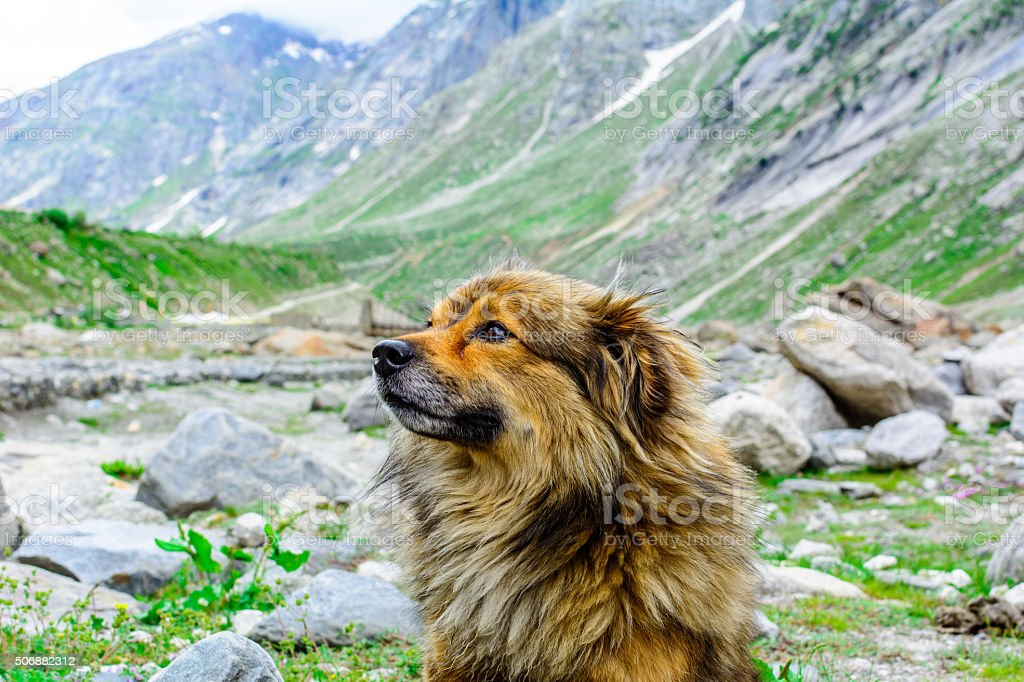 Himalayan herding dog relaxing at Spiti Valley, India, stock photo