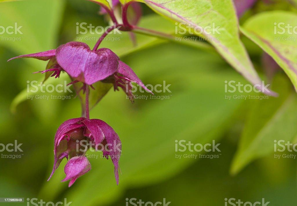 Himalayan Honeysuckle / Leycestria Formosa royalty-free stock photo
