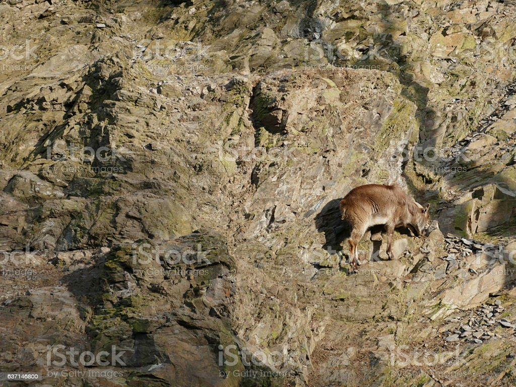 Himalayan Mountain Goat stock photo