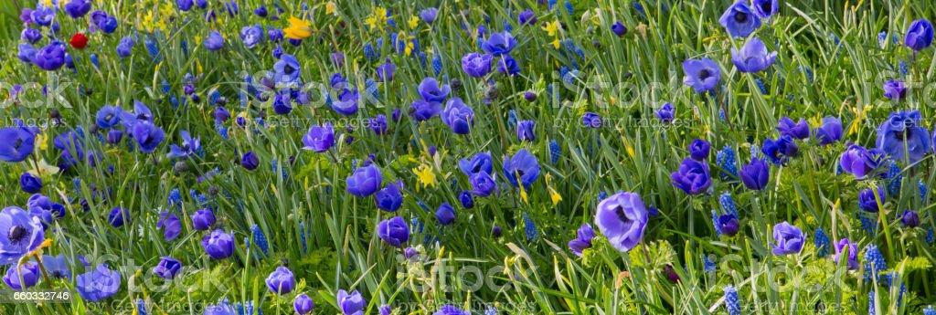 Himalayan poppy flowers backround stock photo