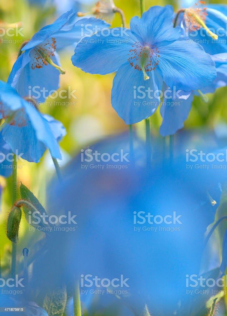 Himalayan poppy stock photo