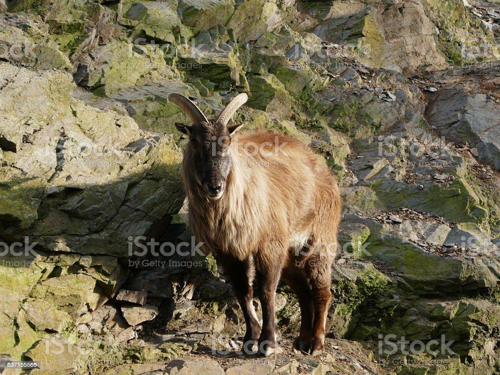 Himalayan tahr - mountain goat stock photo