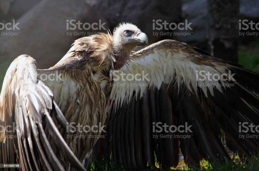 Himalayan vulture (Gyps himalayensis) drying wings after bathing stock photo