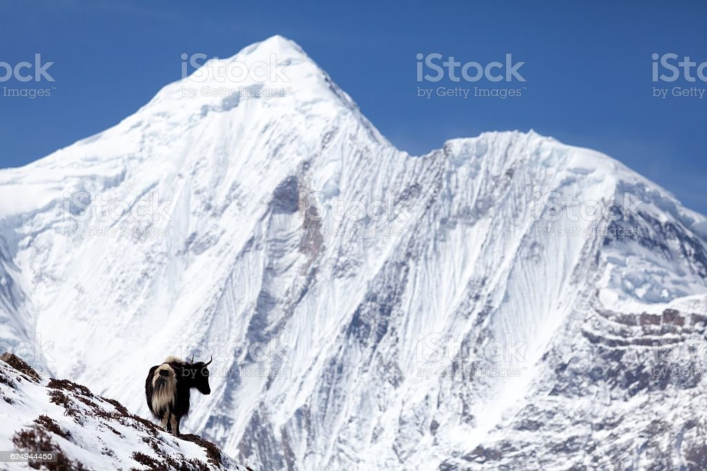 Himalayan Yak with snow mountain Annapurna in background, Manang, Nepal stock photo