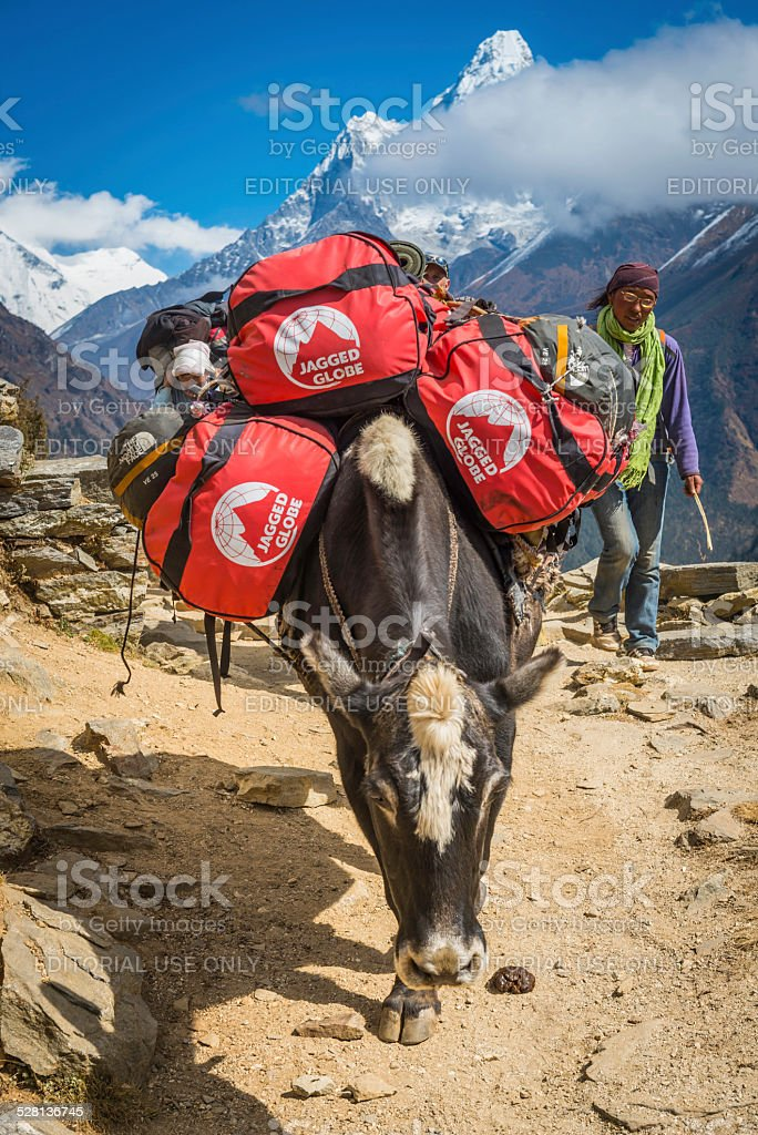 Himalayas yak and female driver Everest Base Camp trail Nepal stock photo