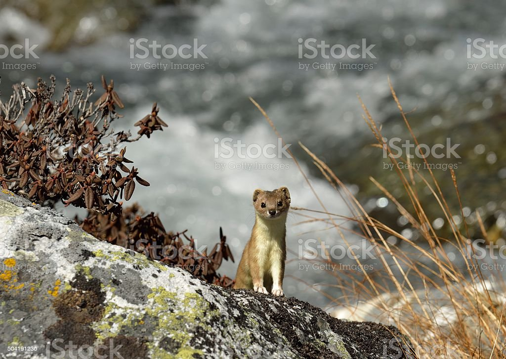 Himalayian Weasel stock photo