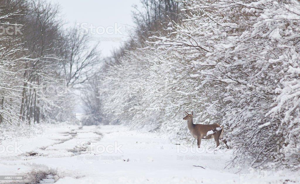 Hind on snow stock photo