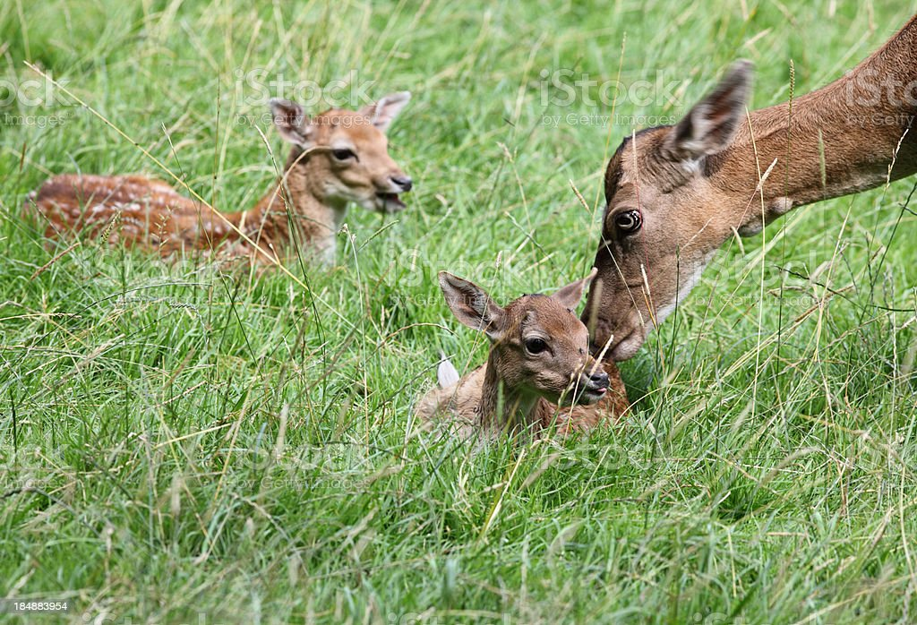Hind with Its Fawn royalty-free stock photo