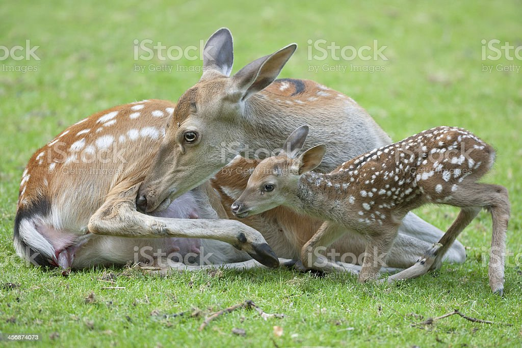 Hind With Newborn Fawn stock photo