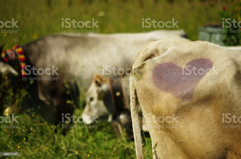 Hindquarter of a cow with a purple heart on it royalty-free stock photo