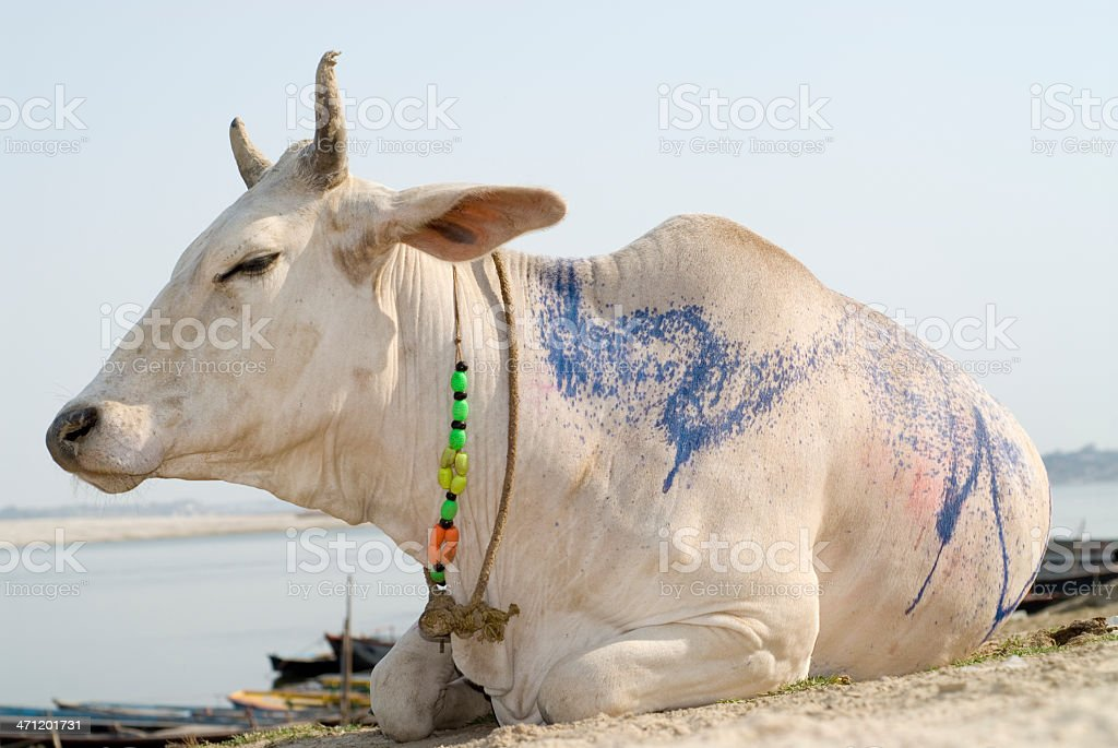 Hindu cow royalty-free stock photo