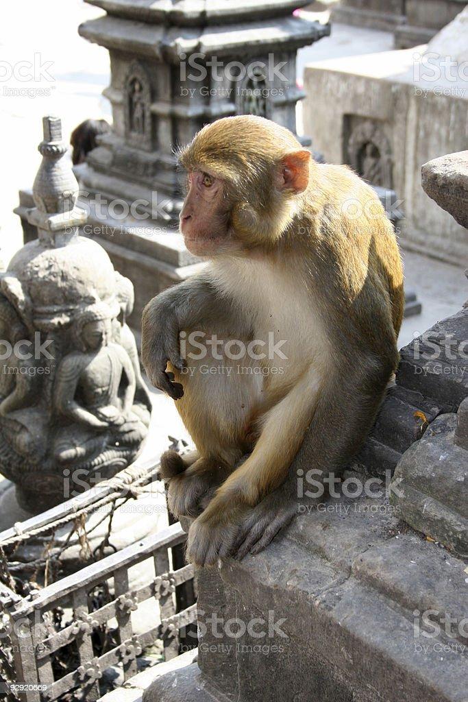 Hindu Rhesus Monkey - Nepal royalty-free stock photo