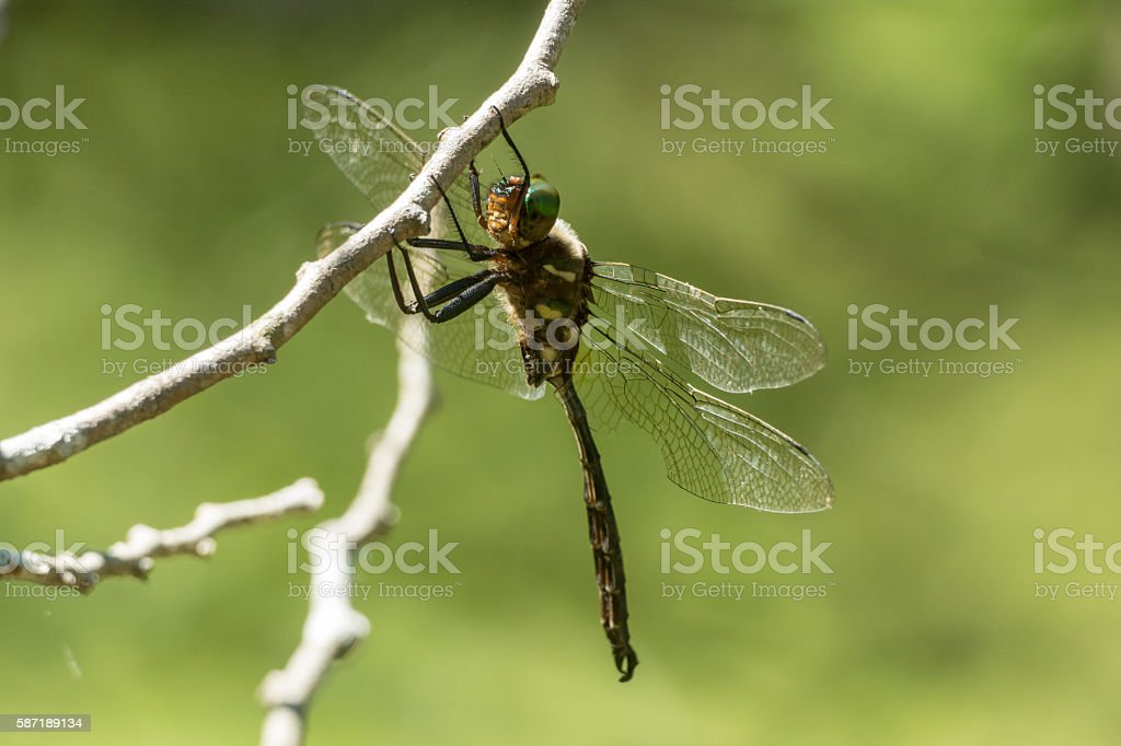 Hine's Emerald Dragonfly stock photo