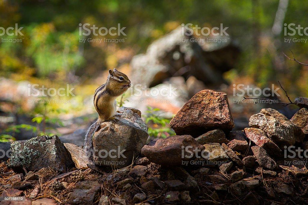 Сhipmunk stock photo