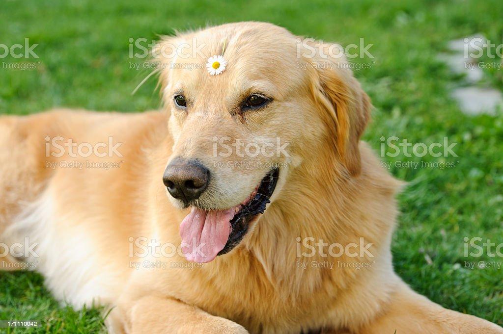 Hippie dog royalty-free stock photo