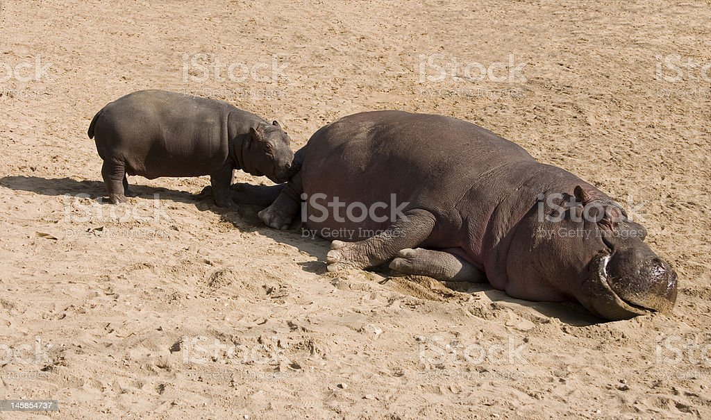 Hippo and baby stock photo