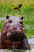 Hippo and Oxpecker in the Okavango Delta Botswana