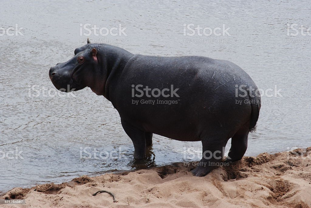 Hippo by the river stock photo