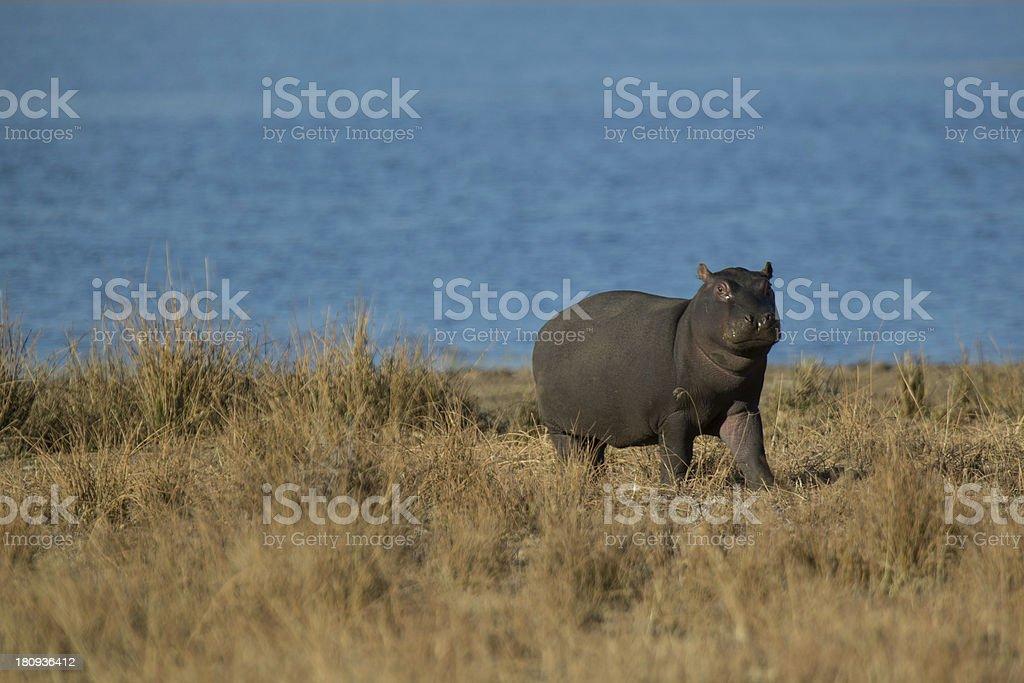 Hippo Calf royalty-free stock photo